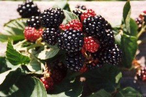 o-chester-blackberries-facebook-095336168